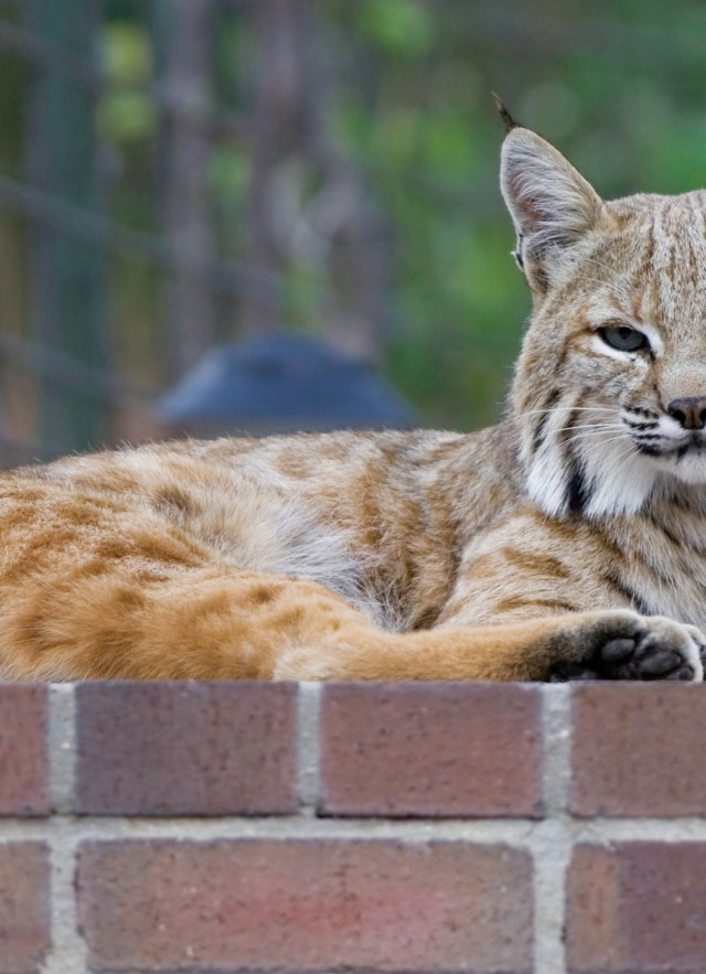 bobcat backyard brick ledge