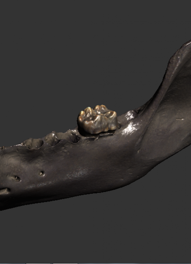 A grizzly bear jaw from Pit 61