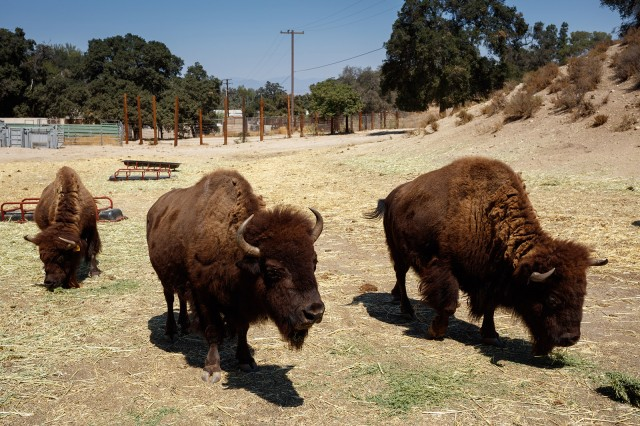 Photo of bison at the Hart Museum and Ranch