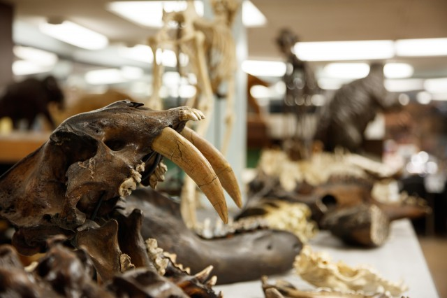 close up of sabertooth skull in fossil lab collections tar pits