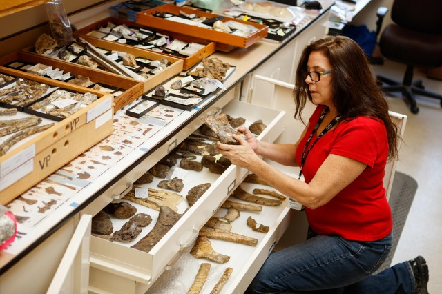 dinosaur institute collections manager looking through specimens research and collections