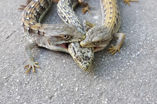 Two males biting the head and neck region of a female Southern Alligator Lizard