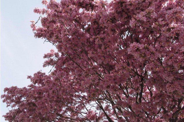 Trumpet, tree, pink, bloom, pollenated