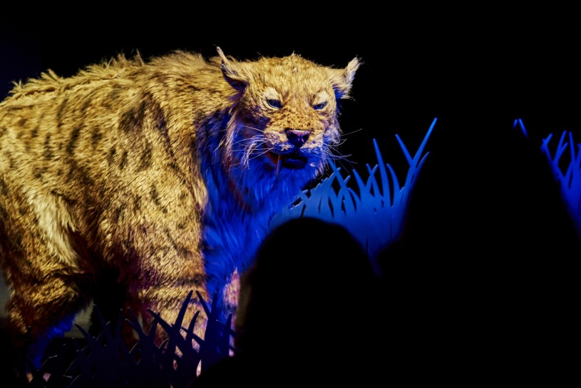sabertooth cat puppet in ice age encounters show tar pits