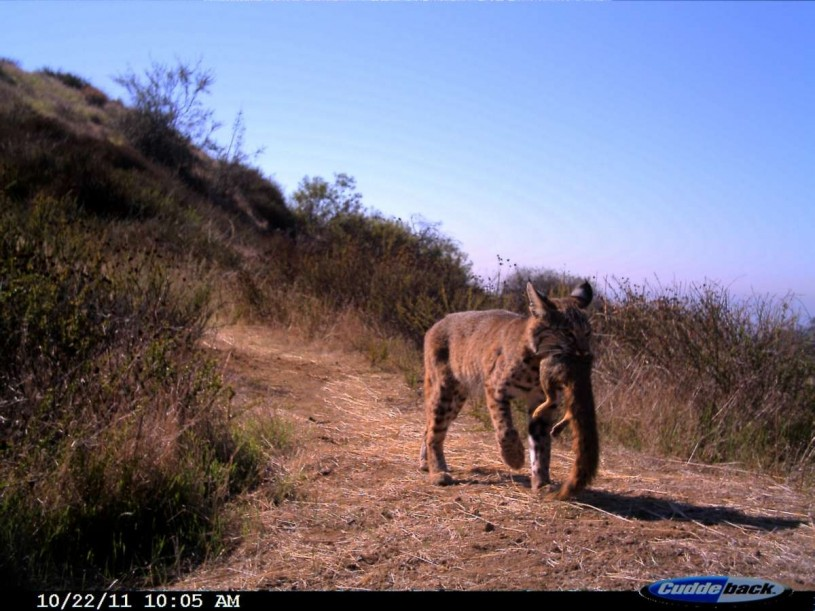 Bobcat carrying the remains of an Eastern fox squirrel in the Hollywood Hills.