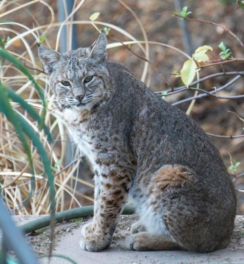 One of many bobcat photographs shared with Miguel by fellow Griffith Park neighborhood residents. Photo Credit: Susan Swan