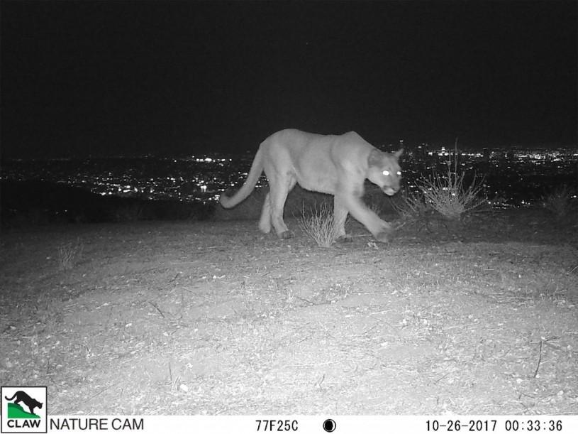 Mountain lion in dark