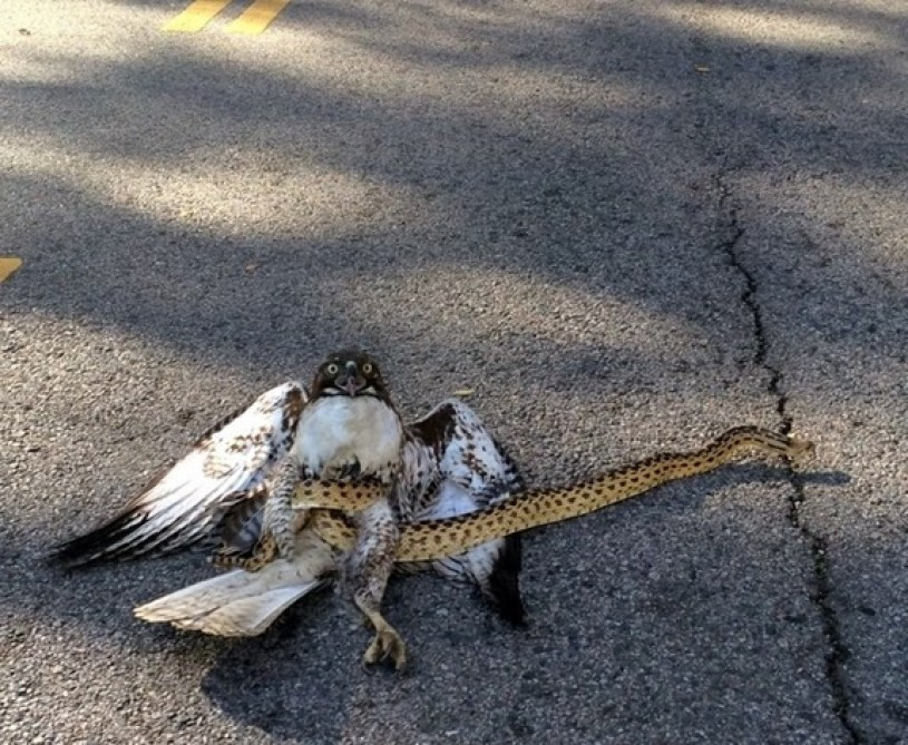 A Gopher Snake successfully defending itself from the attack of a juvenile Red-tailed Hawk