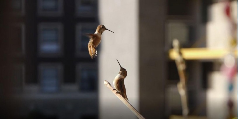 two hummingbirds looking at each other