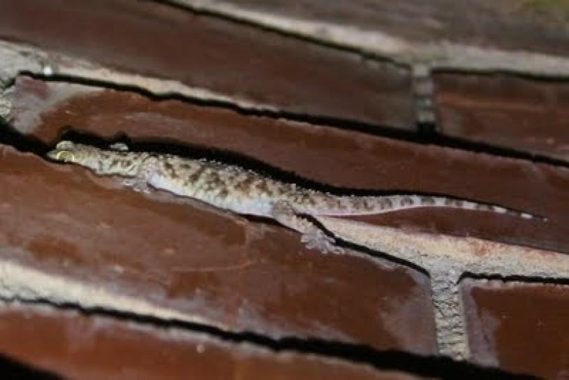camouflage, gecko, lizard, brick