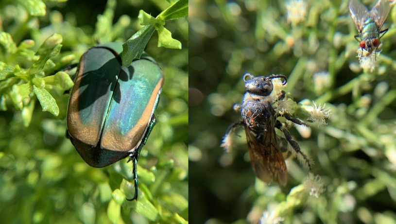 Two photos show a metallic green fig beetle and a dead scoliid wasp