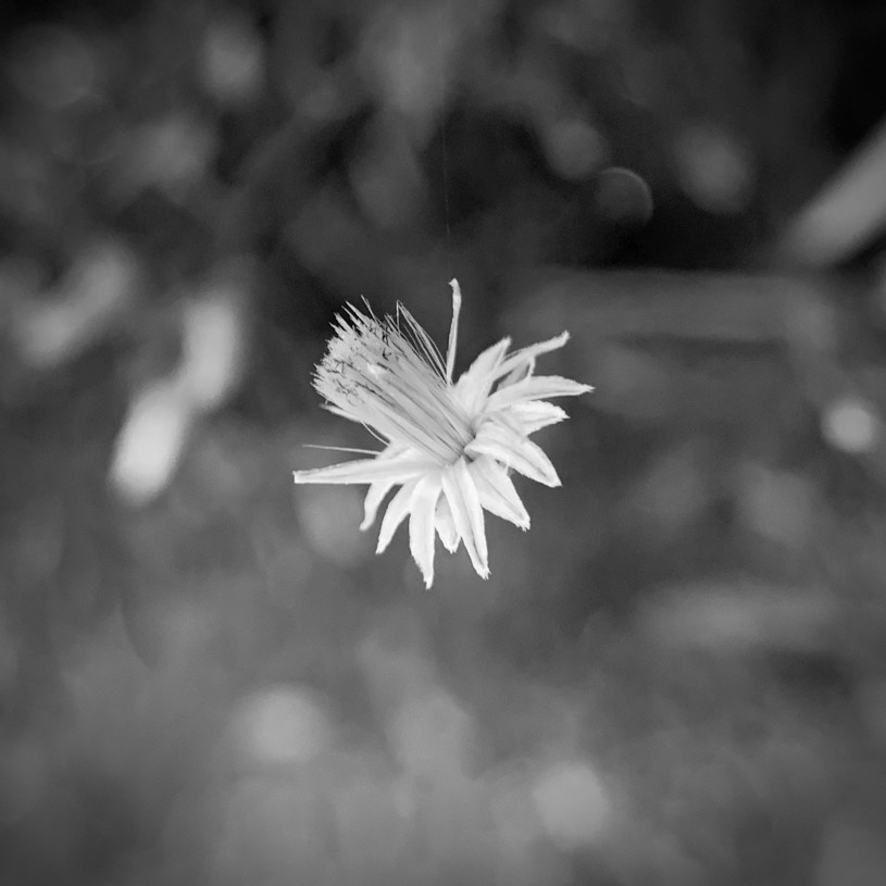 Black and white photo of Baccharis flower