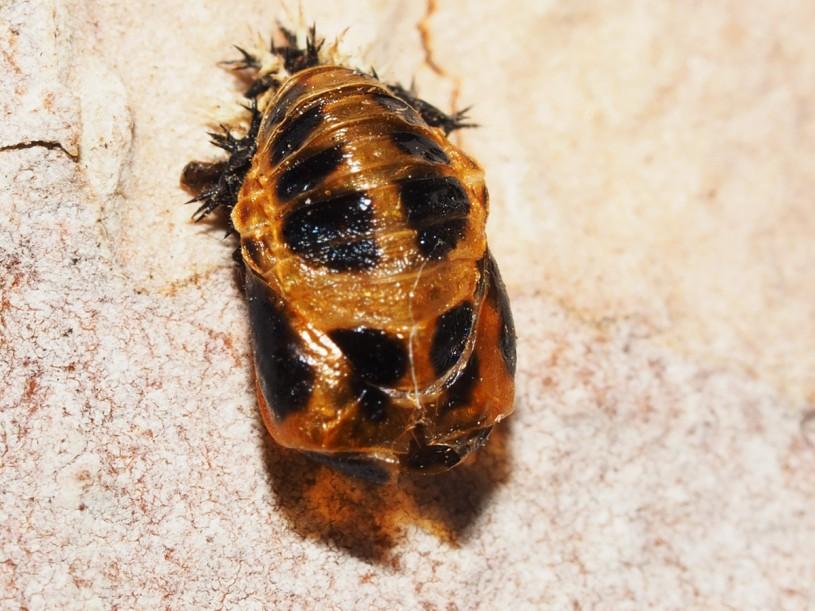 Pupa, ladybug, ladybird, spots