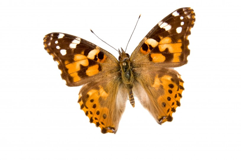 Image of a Painted Lady Butterfly