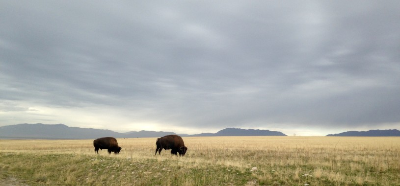 Bison on the range