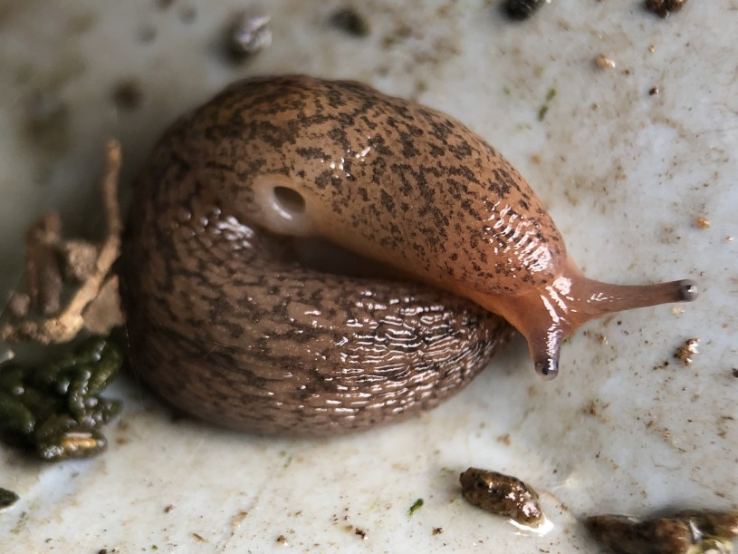 A curled up common brown slug with brown speckled body patterning.