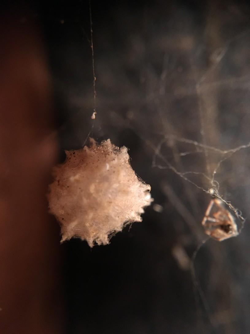 Brown Widow Spider Egg case