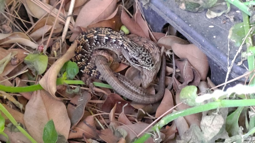 A pair of alligator lizards with one lizard biting the other's neck.