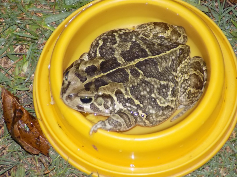 A large leopard toad sitting in a cat's water dish