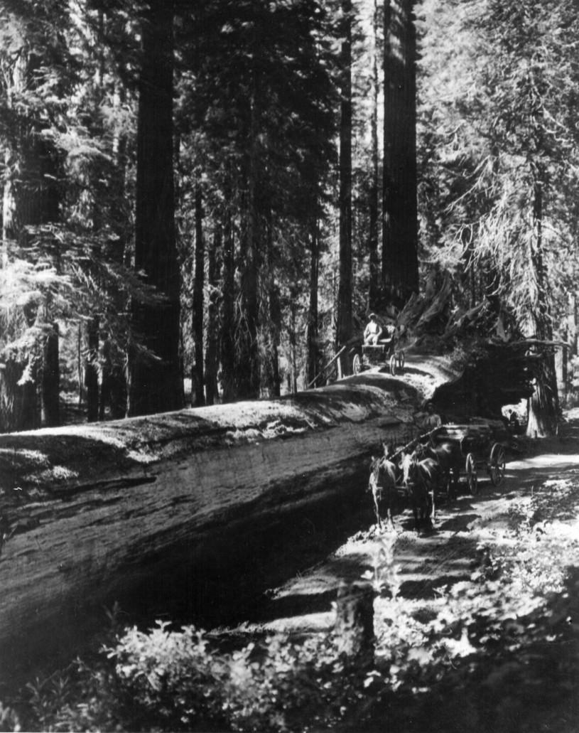 Locomobile atop a fallen sequoia