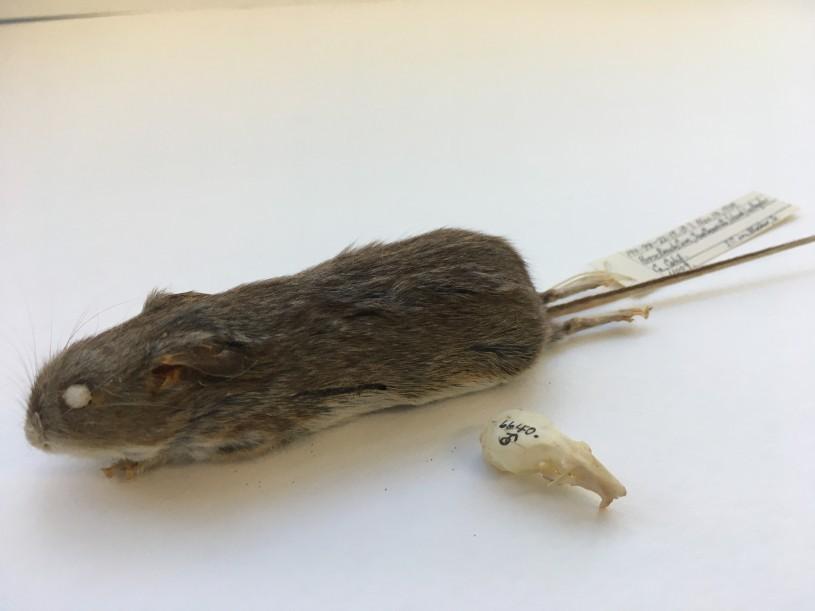 deer mice specimen