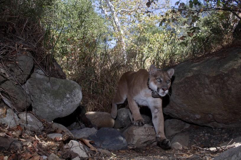 The Puma called P-22. Image credit: Miguel Ordeñana