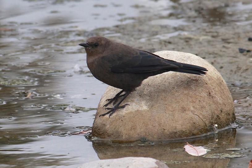 Brewer's Blackbird © Andrea Kreuzhage.