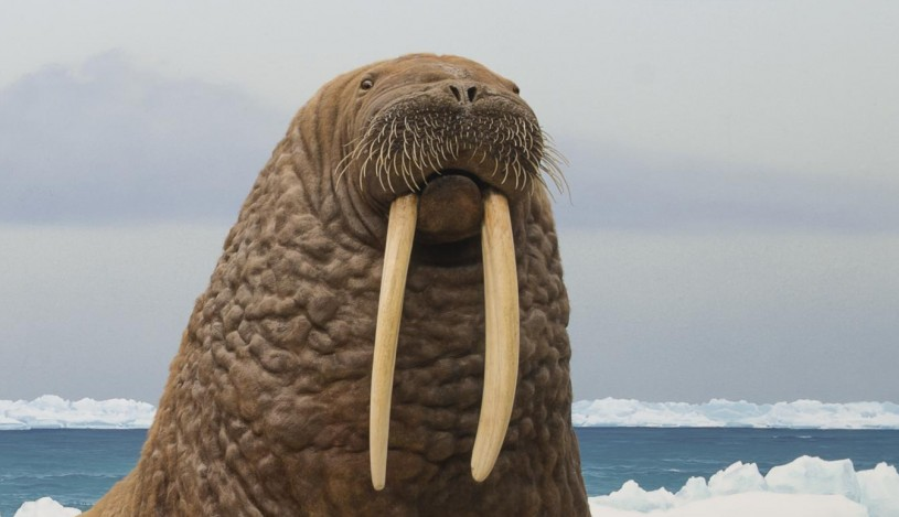walrus whiskers