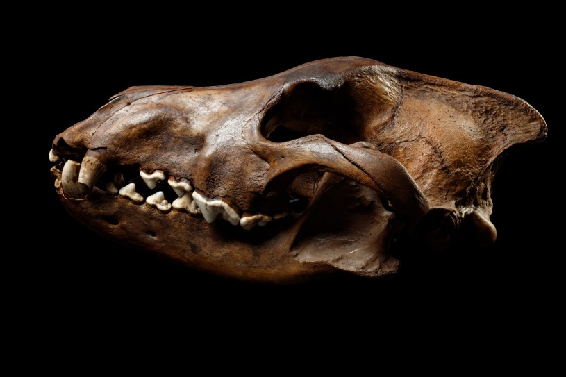 Dire wolf skull horizontal