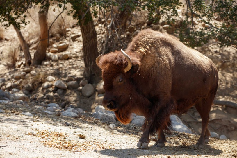 American Bison from the Hart Museum
