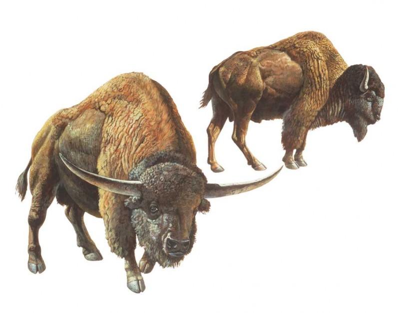 Illustration of two antique bison