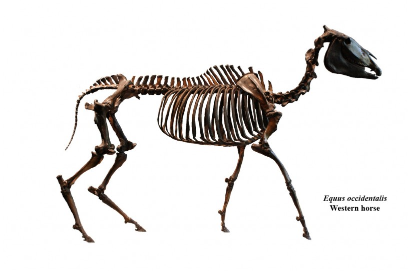 Equus occidentalis western horse from LBTP