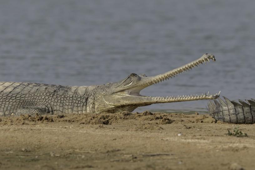 gharial iNat