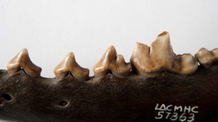 a closeup photo of a coyote jaw and teeth