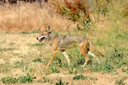 a photo of a coyote roaming in the Los Angeles