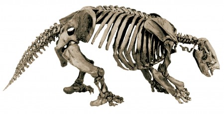 Articulated skeleton of a Harlan's Ground Sloth